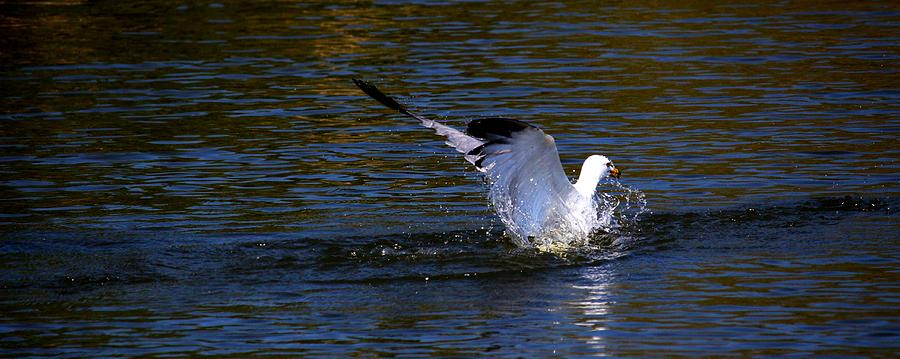 Bird Photograph - Refreshing Dip by Amanda Struz
