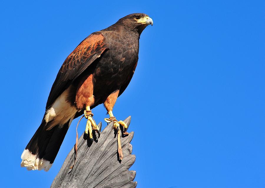 Regal Hawk Photograph by Jim Harris