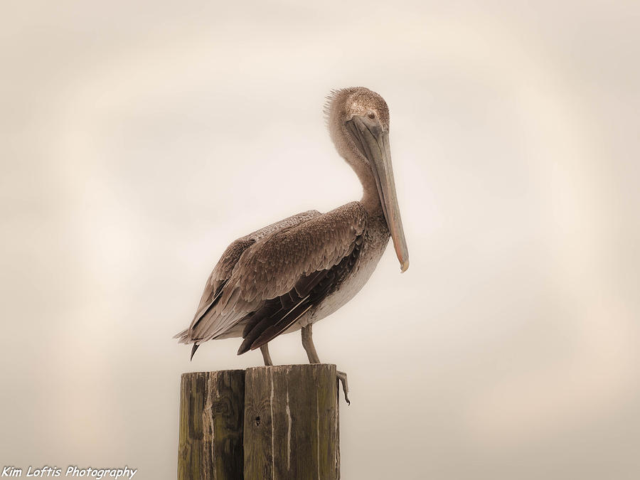 Pelican Photograph - Regal  by Kim Loftis