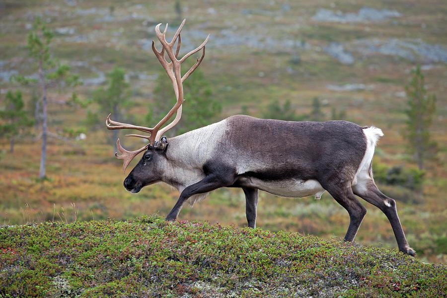 Reindeer Photograph