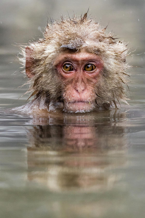 Snow Monkey Photograph - Relaxing in the hot spring by RT Photography