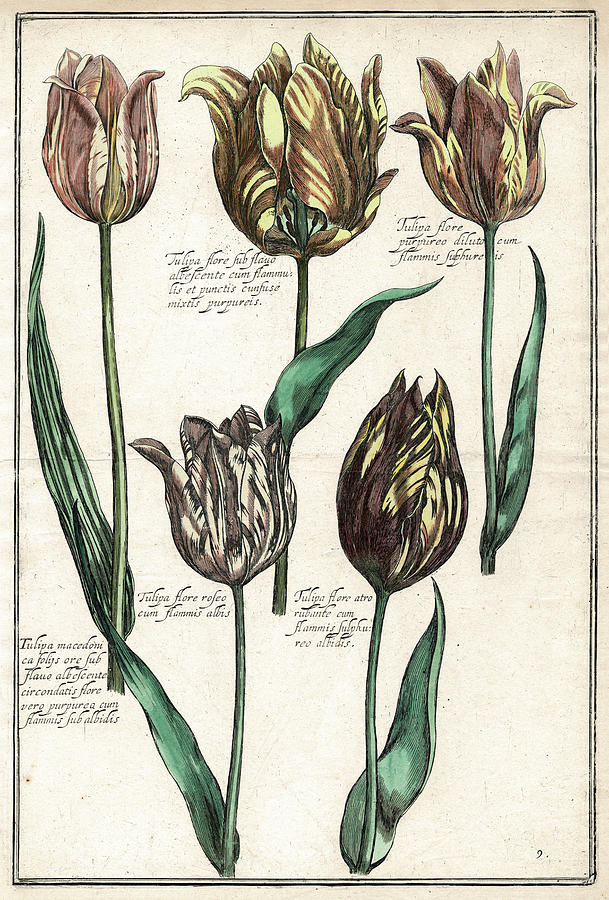 Tulips Digital Art - Renaissance Tulips by Antique Images