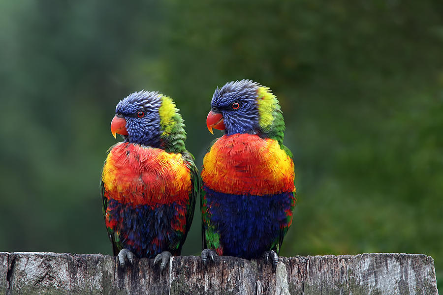 Lorikeets Photograph - Rendezvous In The Rain by Lesley Smitheringale