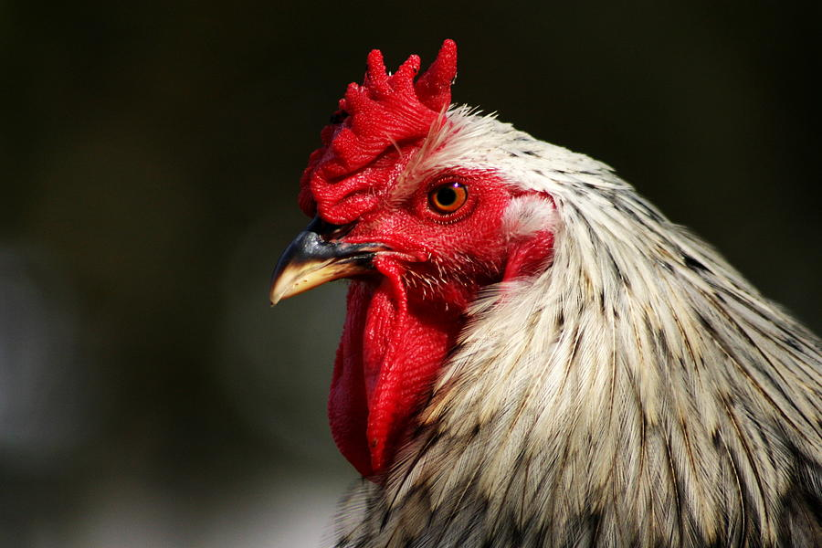 Rooster Photograph - Renegade Rooster by Remmy Aremen