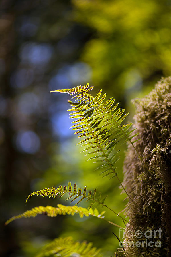 Forest Photograph - Renewal Ferns by Mike Reid