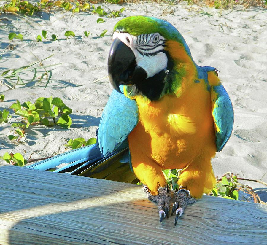 Reno The Parrot On Cocoa Beach Photograph