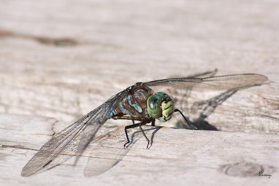 Rescued Dragonfly Photograph by Andrea Lawrence