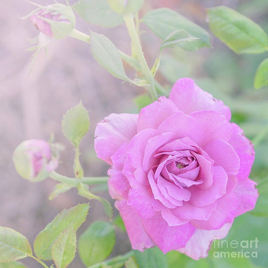 Resilient Rose by Cindy Garber Iverson