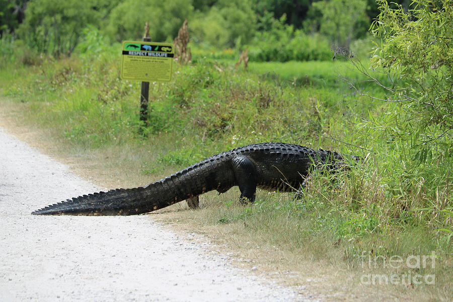 Respect Wildlife Large Gator Photograph