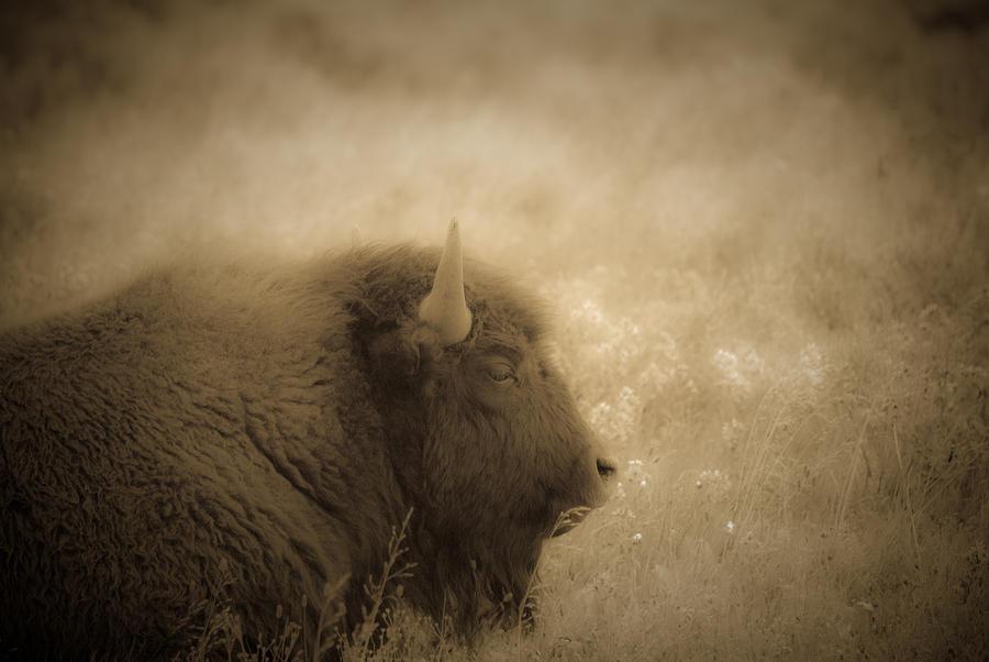 Bison Photograph - Resting Buffalo by Patrick  Flynn