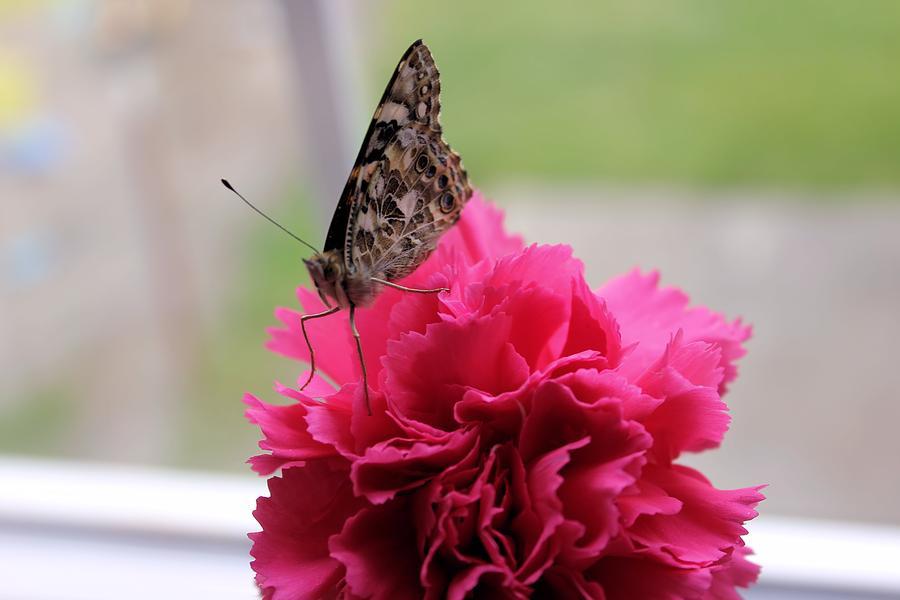 Carnation Photograph - Resting Butterfly by Myrna Migala