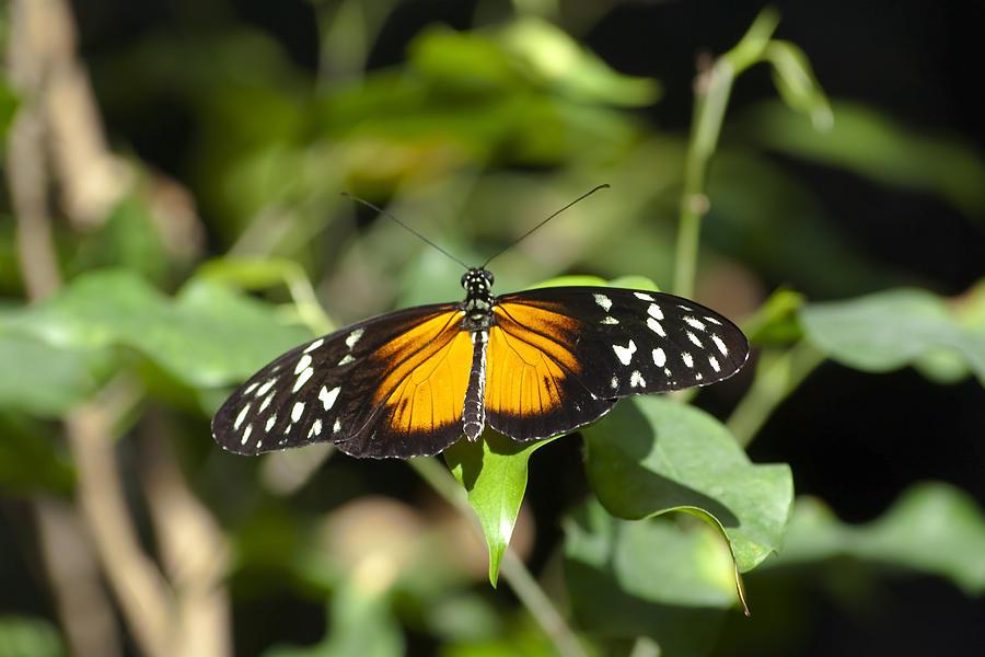 Butterfly Photograph - Resting Butterfly by Sven Brogren