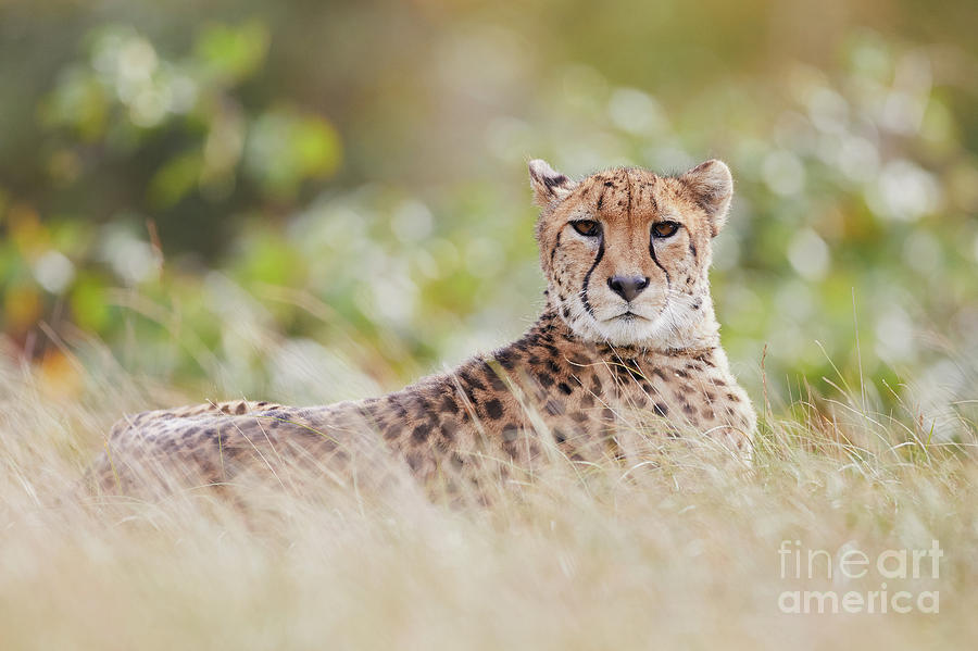 Resting Cheetah by Nick Biemans
