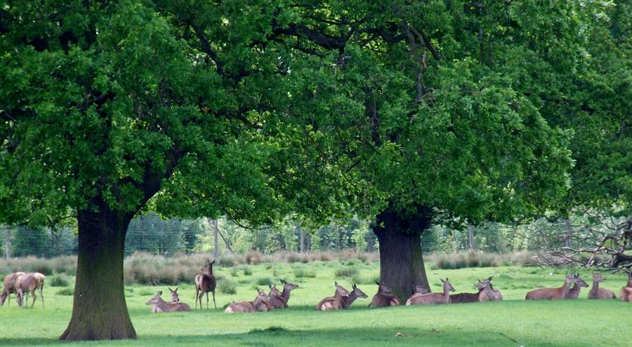 Deer Photograph - Resting Deer by Horace Cornflake
