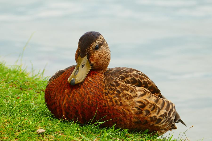 Duck Photograph - Resting Duck by Debbie Storie