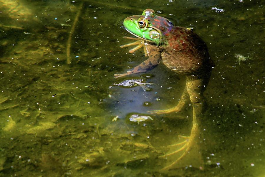 Bullfrog Photograph - Resting by Gaby Swanson