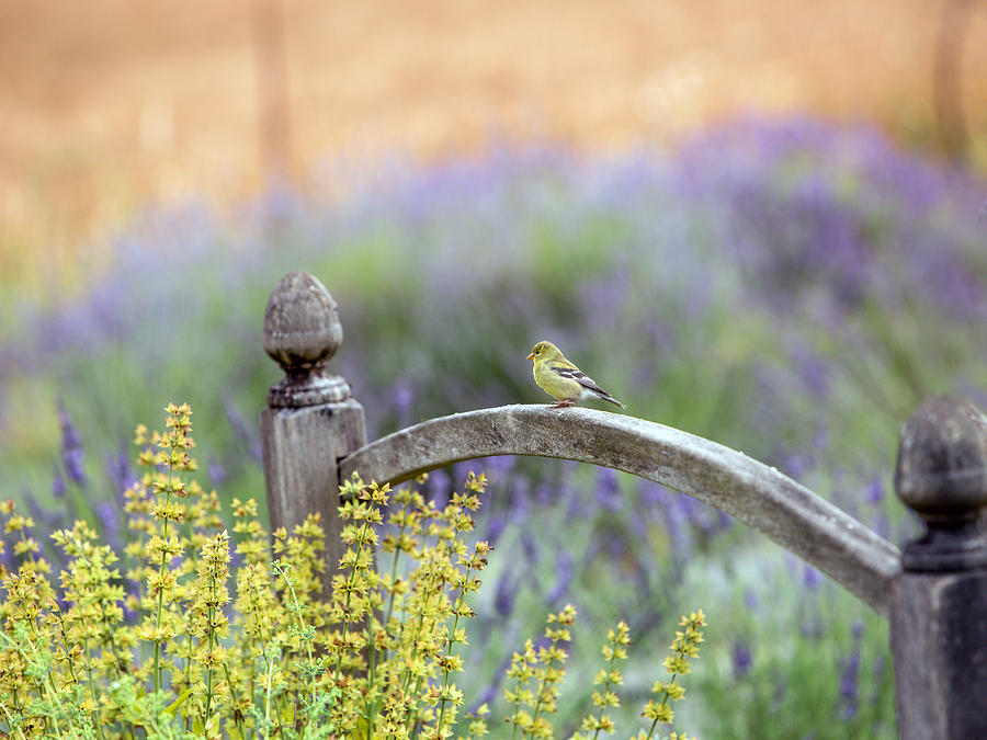 Lavender Photograph - Resting In The Garden by Rebecca Cozart