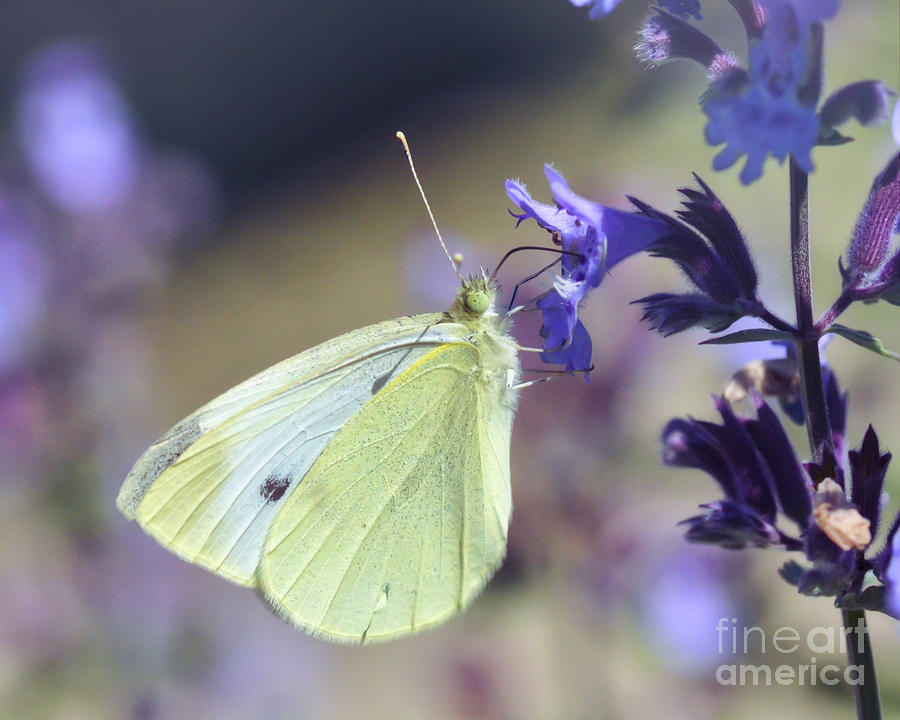 Butterfly Photograph - Resting In The Purple by Kerri Farley