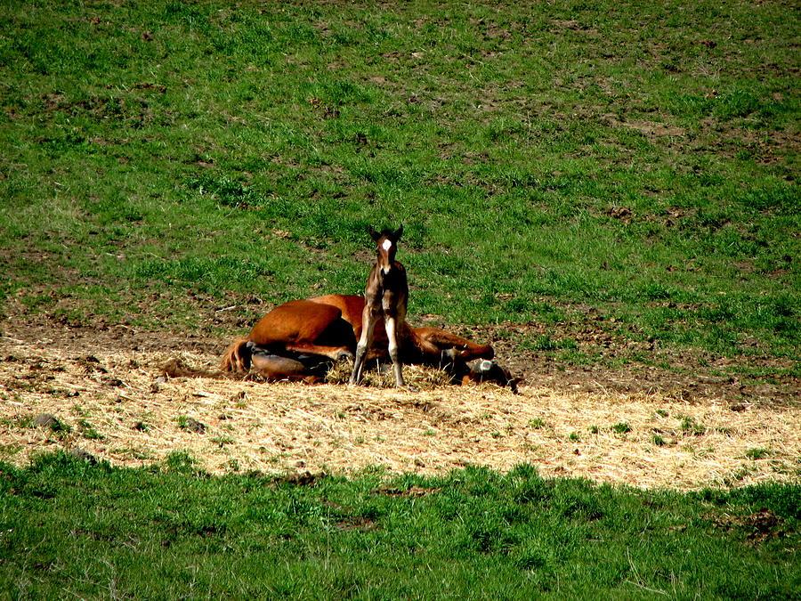 Horses Photograph - Resting Mom by Athena Ellis