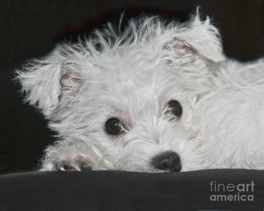 White Photograph - Resting Puppy by Terri Waters