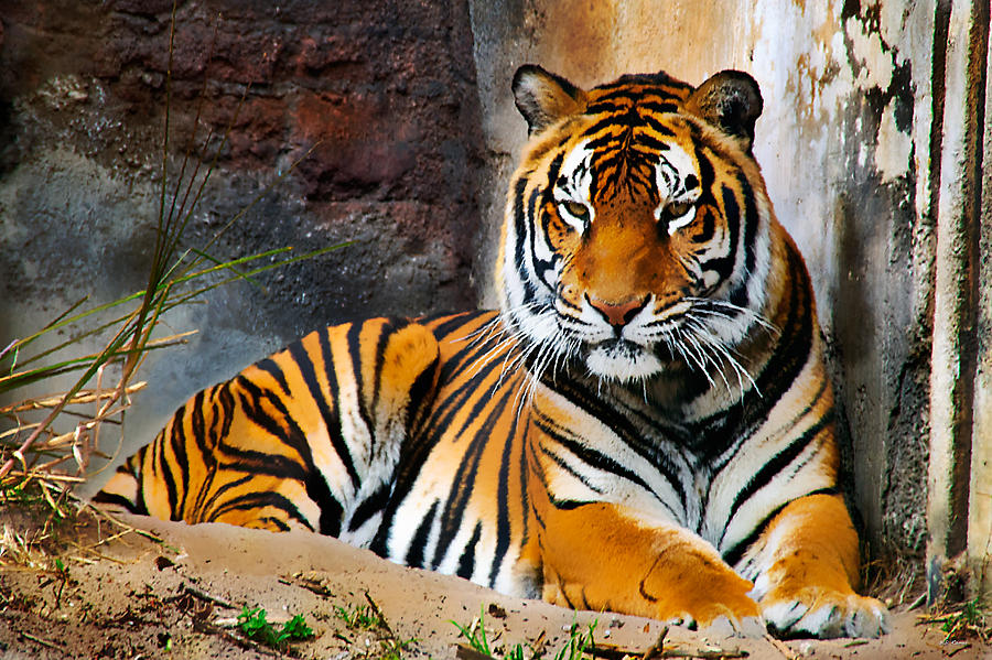 Resting Tiger by Bibi Rojas