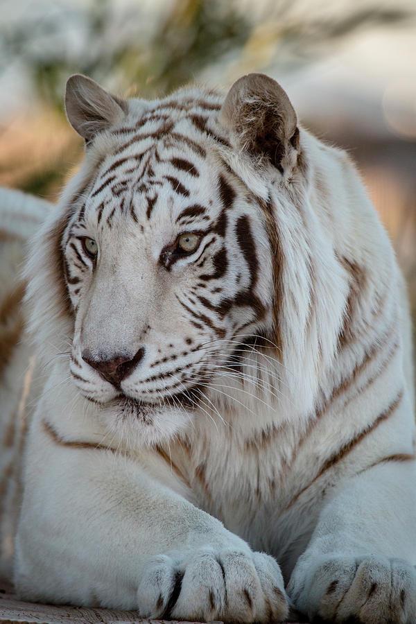 Animal Photograph - Resting Tiger by Teresa Wilson