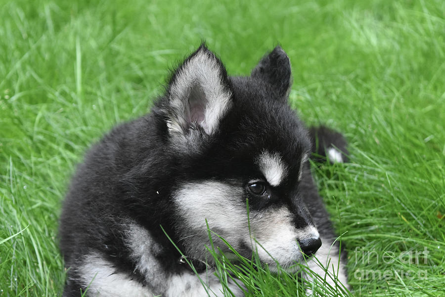 Dog Photograph - Resting Two Month Old Alusky Puppy Dog In Grass by DejaVu Designs