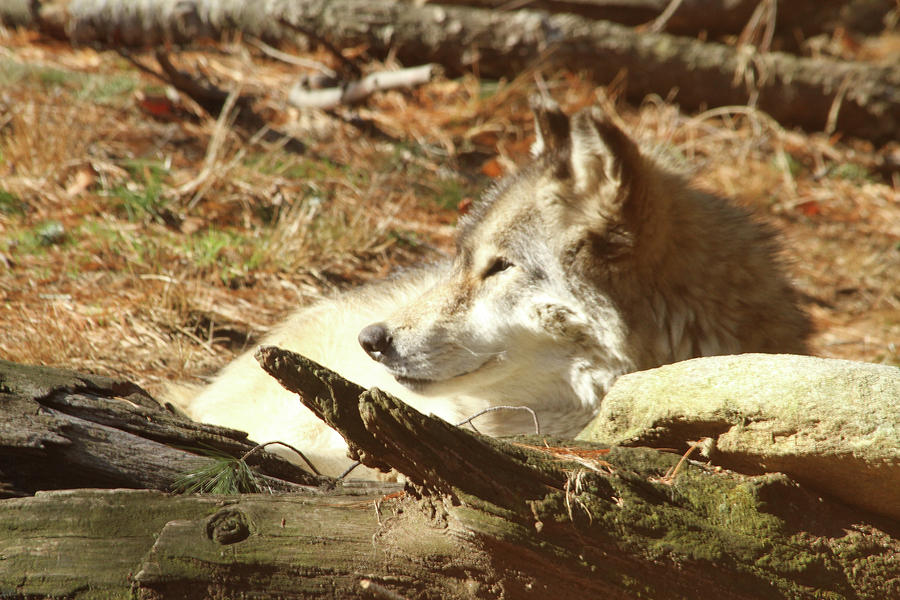 Wolf Photograph - Resting Wolf by Karol Livote