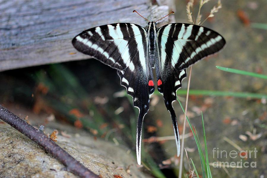 Zebra Photograph - Resting Zebra Swallowtail Butterfly by Karen Adams