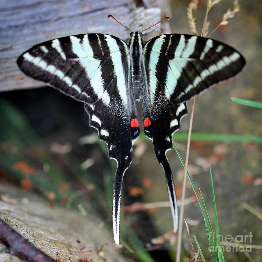 Zebra Photograph - Resting Zebra Swallowtail Butterfly Square by Karen Adams