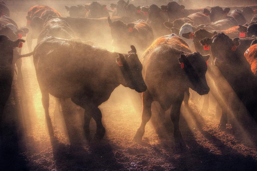 Restless cattle at sunset by Quality HDR Photography