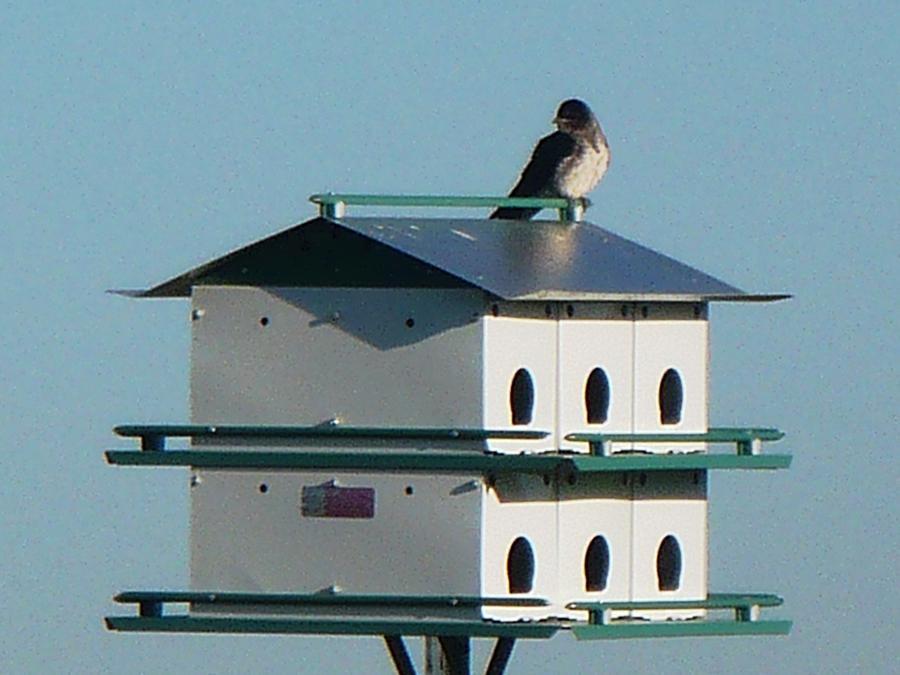 Bird Photograph - Return Of The Purple Martin by Jerry Browning