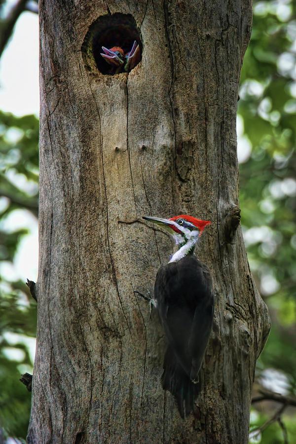 Birds Photograph - Return - Pileated Woodpecker  by Nikolyn McDonald