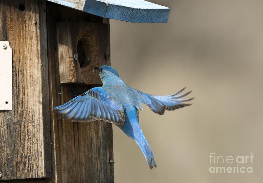 Bluebird Photograph - Returning Home by Mike Dawson
