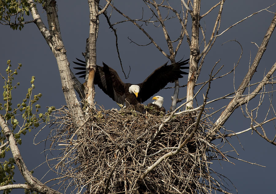 Eagle Photograph - Returning Home To The Nest by Mike  Dawson