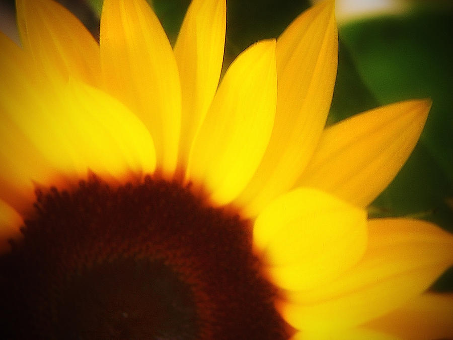 Sunflower Photograph - Reverie Two by Julius Reque