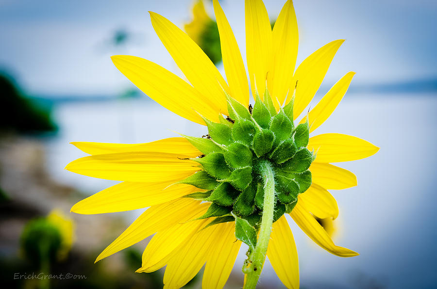 Texas Photograph - Reverse Sunflower by Erich Grant