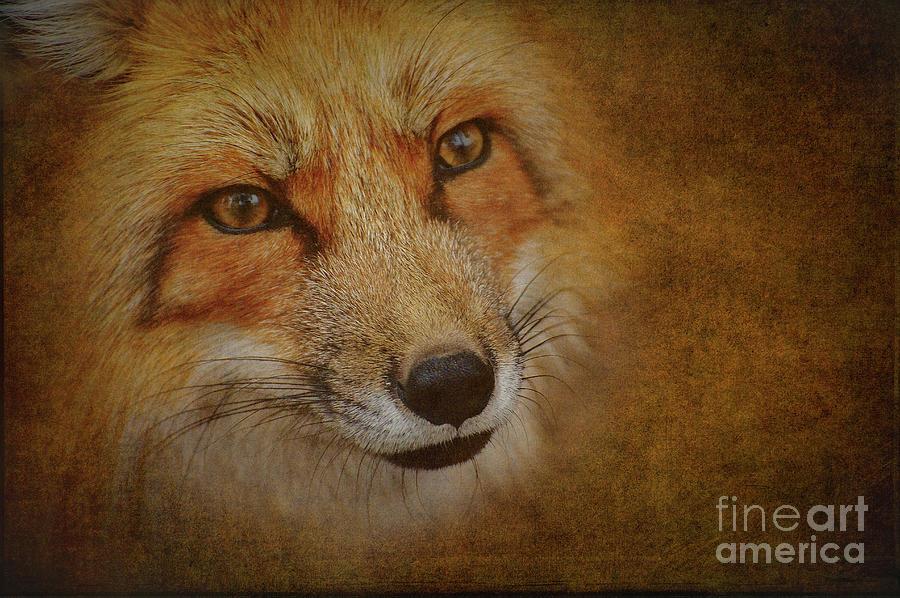 Reynard The Fox Photograph