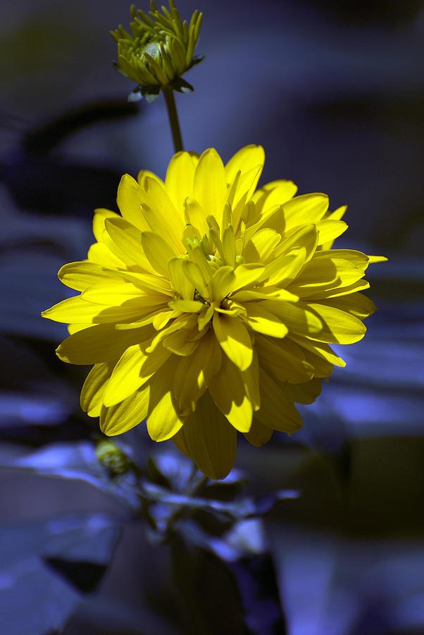 Yellow Photograph - Rhapsody in blue by Adrian Bud