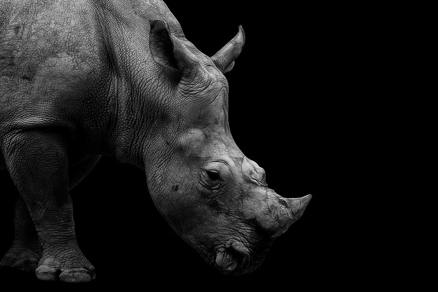 Rhinoceros Photograph - Rhino Black And White Portrait by David Gn
