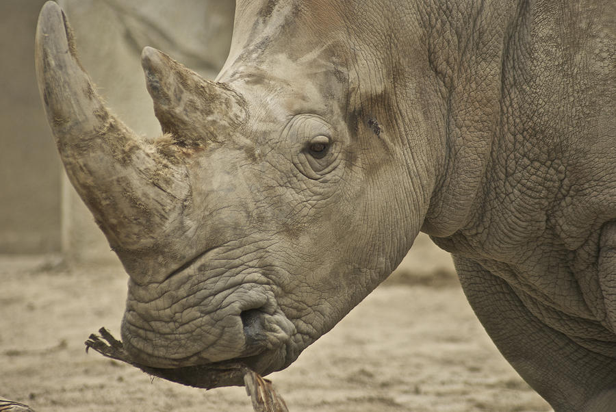 Rhino Photograph - Rhino by Michael Peychich