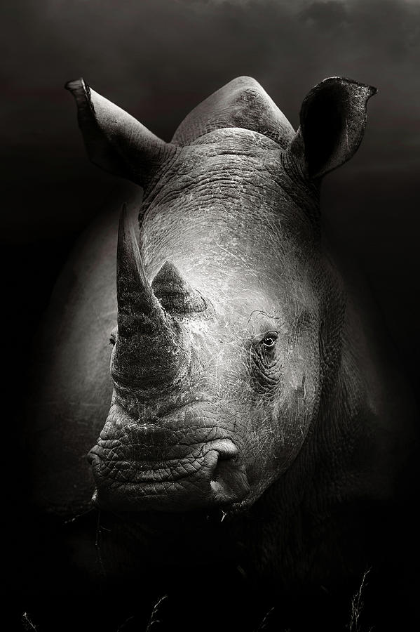 Rhinoceros Photograph - Rhinoceros portrait by Johan Swanepoel