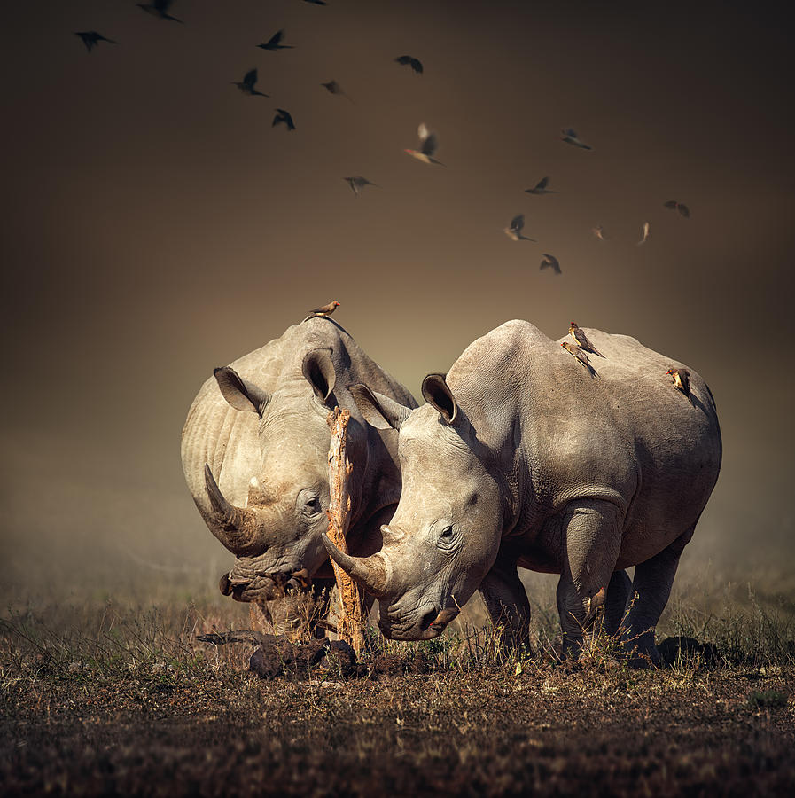 Rhinoceros Photograph - Rhinos With Birds by Johan Swanepoel