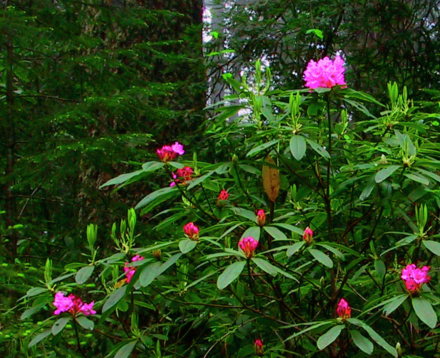 Rhodies In The Redwoods Photograph by Tom Kidd