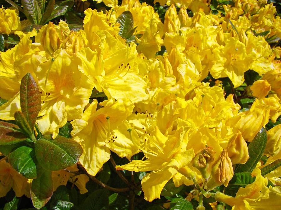 Rhodie Photograph - Rhodies Yellow Rhododendrons Art Prints Baslee Troutman by Baslee Troutman