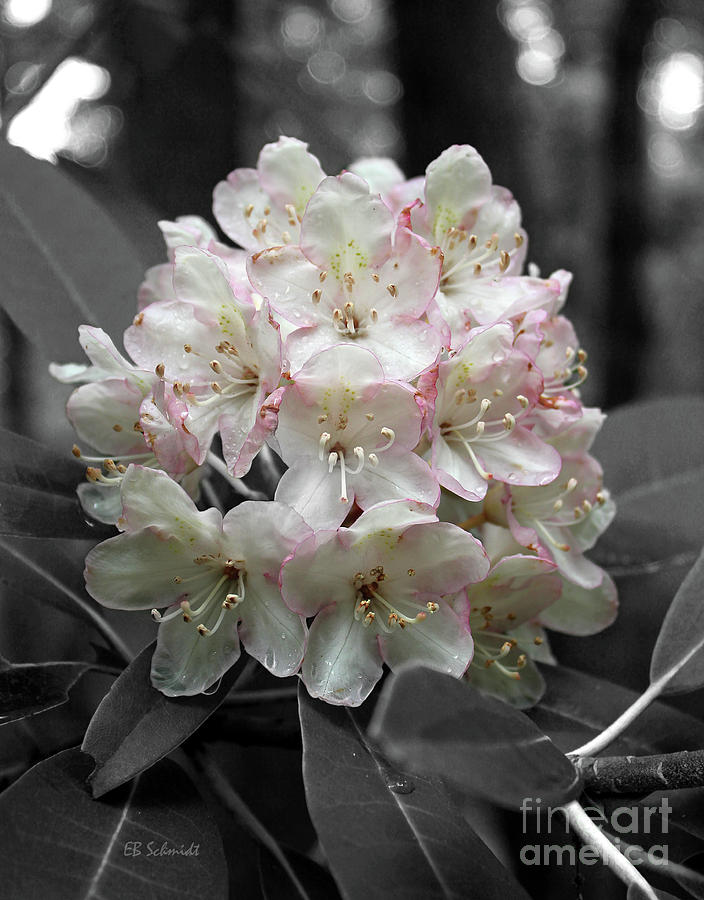 Rhododendron 02 by E B Schmidt