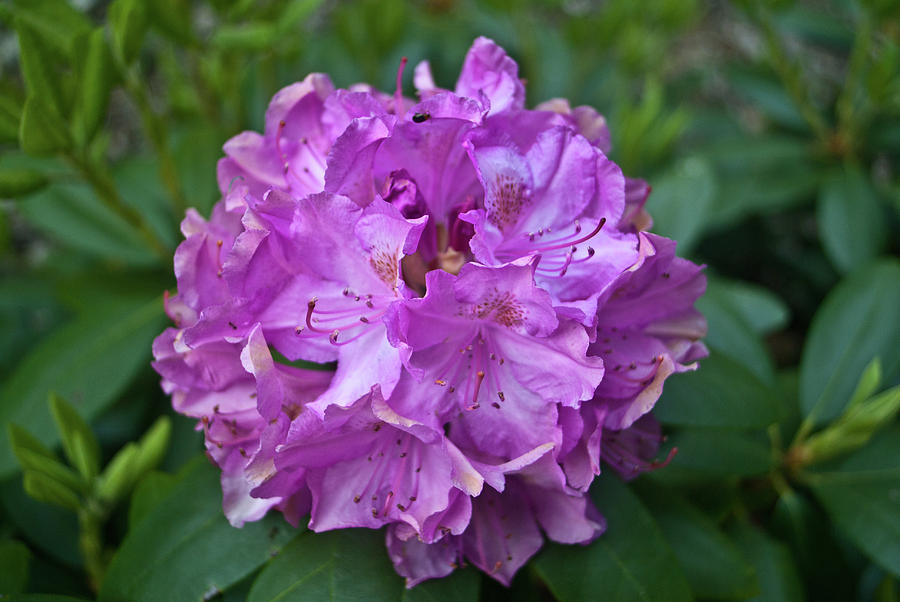 Rhododendron Photograph - Rhododendron Elegance by Douglas Barnett