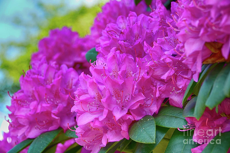 Rhododendron In Pink Photograph