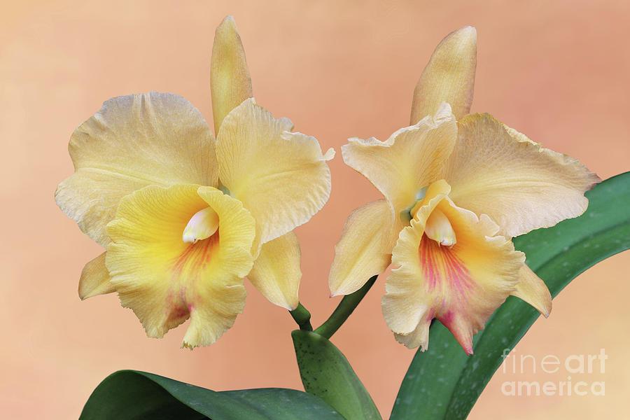 Rhyncholaeliocattleya Yasuji Takasaki Orchid V2 by Judy Whitton