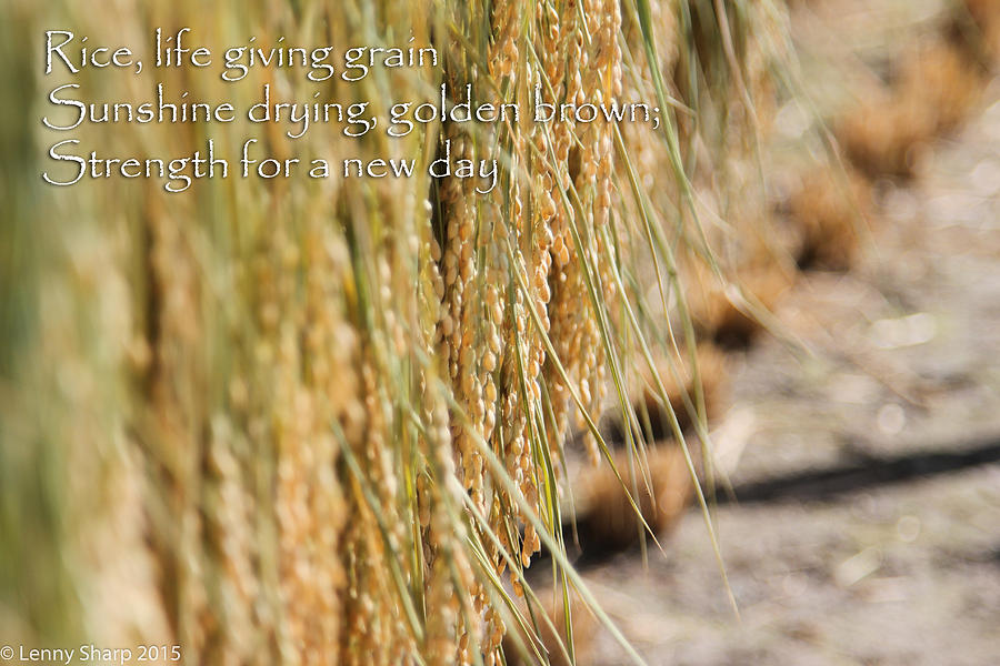 Japan Photograph - Rice Harvest - Haiku by Leonard Sharp